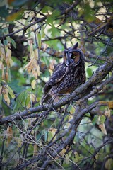 Owl at Roxborough Park (The Good Brat) Tags: colorado us longearedowl wildlife animal bird tree branches nature wild roxborough park roxboroughstatepark owl trail