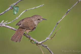 House Wren - Further Thoughts of Spring