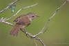 House Wren - Further Thoughts of Spring (Turk Images) Tags: housewren lakenewell troglodytesaedon alberta birds brooks howr troglodytidae prairies