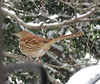 Brown Thrasher (loire61) Tags: brown thrasher