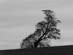 Surviving well (seikinsou) Tags: ireland westmeath winter curvaceous tree bw