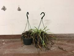 plants (rotabaga) Tags: sverige sweden göteborg gothenburg iphone