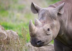 Rhino textures (julie cavell) Tags: rhinoceros rhino animal yorkshirewildlifepark horn