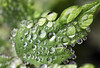 Fine dewy raindrops diagonal leaf (Jim_Higham) Tags: kent uk england britain eu europe