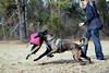DSC_0252 (Charlotte Hoberg) Tags: german shepherd belgian malinois mondioring ipo schutzhund dog dogs cute training black fawn while rottweiler pit bull boxer lab labrador