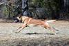 DSC_0045 (Charlotte Hoberg) Tags: german shepherd belgian malinois mondioring ipo schutzhund dog dogs cute training black fawn while rottweiler pit bull boxer lab labrador