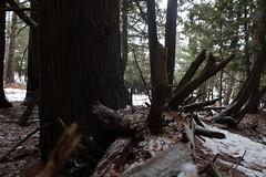 sharp (confusedflower) Tags: log trees dark snow winter