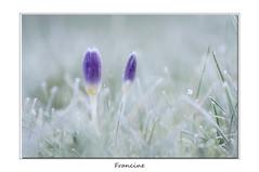 IMGP7184-2 (Francinen89) Tags: froid cold fleurs flowers macro nature proxi frozen givre