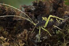 Leaf katydid (ggallice) Tags: katydid tettigoniidae orthoptera camouflage crypsis protectiveresemblance insect moss yanayacu yanayacubiologicalstation napo ecuador southamerica cloudforest rainforest andes wildlife