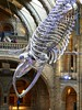 Blue Whale (jacquemart) Tags: bluewhale skeleton naturalhistorymuseum london southkensington spectacle