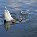 Mute swan up-ending, with chicks thumbnail
