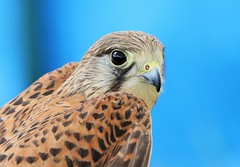 KESTREL [CAPTIVE] (merseymouse) Tags: kestrel birdsofprey raptors