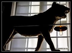 Musée de la Chasse / Hunting museum  - Paris III (christian_lemale) Tags: musée museum chasse hunt hunting paris iii france nikon d7100 fauve lionne empaillée naturalisée wild animal stuffed naturalied lion lioness