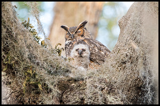 Owlet and mom