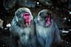 What's Going On (moaan) Tags: yamanouchi nagano japan monkey snowmonkey japanesemacaque duo astonished expression jigokudani jigokudanisnowmonkeypark jigokudanispa canoneos5dmarkiii zeissmakroplanart2100ze utata 2018 makroplanart2100