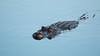 Morning Swim (Bill McBride Photography) Tags: alligatormississippiensis alligator american reptile nature wildlife february 2018 winter florida fl ritchgrissommemorial viera melbourne canon eos 70d ef100400l