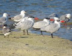 Hydroprogne caspia 12 (barryaceae) Tags: sandbar smiths lake nsw australia australianbird birds bird aves australianbirds ausbirds ausbird caspian tern hydroprogne caspia