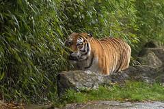 Amur Tiger (dracolady1) Tags: dslrcamera nikond5300 tamron150600mmlens bigcats amurtigercubs cheetah snowleopard amurleopard marwellzoo hampshire uk lightroom5 photoshop12