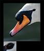 KUSA-3743 (Weinstöckle) Tags: höckerschwan enz vogel wasservogel