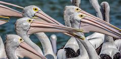 D71_9879.jpg (David Hamments) Tags: pelicanfeeding eyes theentrance nsw flickrunitedaward