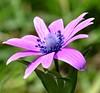 Spring flower (sisley72) Tags: flower springflower fiore viola violet macro pianta plant erba grass foglia leaf petali petals nature ngc