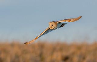 DSC0763  Barn Owl...
