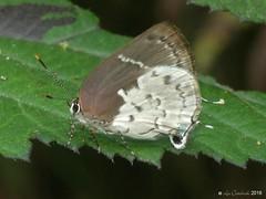 Tmolus ufentina (LPJC) Tags: quitacalzones manuroad butterfly manu 2016 peru lpjc tmolusufentina hairstreak