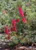 Grevillea georgeana, Kings Park, Perth, WA, 20/11/17 (Russell Cumming) Tags: plant grevillea grevilleageorgeana proteaceae kingspark perth westernaustralia