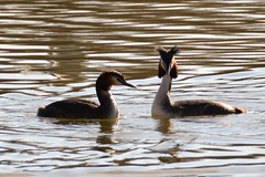 Great Crested Grebes (suekelly52) Tags: podicepscristatus greatcrestedgrebe grebes waterbird