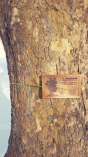 Kurpark Bad Schönau - Platane