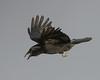 Carrion crow (Wayne A J.) Tags: carrion crow llanelli flight fly
