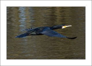 Flight of the Cormorant