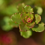 Sedum Acre in green thumbnail