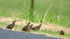 Quail family crossing the road (Harlz_) Tags: brownquail quail native bird australia ground dwelling coturnixypsilophora wildlife nsw canon