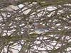 Fieldfare (ToxicWeb) Tags: fieldfare turduspilaris bird birds arbroath angus scotland uk gb wildlife nature panasoniclumix panasonic lumix tz40
