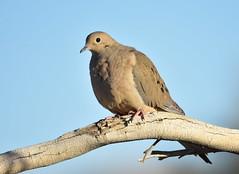 Mourning Dove (USFWS Mountain Prairie) Tags: mourningdove migratorybird bird conservation wildlife dove