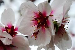 Flor de Almendro (ameliapardo) Tags: flores almendros frutos macrodeflores floresyplantas macroespañol airelibre naturalleza sevilla andalucia españa fujixt1
