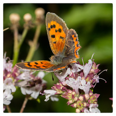 Small Copper Behind (Mark Wasteney) Tags: happybeautifulbugbuttthursday hbbbt butterfly insect closeup squareformat flora flower fauna nature garden