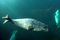 Phoca vitulina - Common seal or Harbour seal - Phoque commun ou Veau marin  - 22/02/18 (Philippe_Boissel) Tags: phocavitulina commonseal harbourseal phoquecommun veaumarin captive phocidae carnivora mammalia mammals mammifère 0487a
