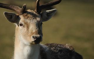 Fallow Buck with Winter Coat