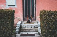 Doggie (bluishgreen12) Tags: dog puppy door wall house stairs fence sarajevo bosnia vintagelens vintageprime canonfl35mmf25