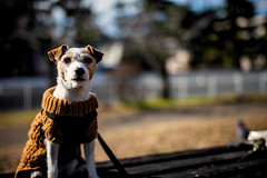 Winter Is Over (moaan) Tags: sigma50mmf14dghsm kobe hyogo japan jp dog jackrussellterrier kinoko posing warmandsunny animal domesticanimal clothes dof depthoffield bokeh bokehphotography 50mm f14 canoneos7dmarkii utata 2018