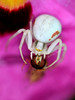 Misumena vatia (Carrie Williams_13) Tags: spider arachnid uk bethchattogardens essex garden hoverfly prey hunter nikon nikond3100 sigma macro invertebrate flower misumenavatia