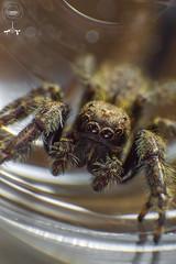 Salticidae (yonatancruz) Tags: