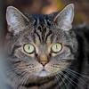 A cat's eyes are windows enabling us to see into another world (Karsten Gieselmann) Tags: 40150mmf28 braun em5markii grau grün katzen mzuiko microfourthirds olympus brown gray green kgiesel m43 mft