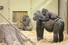 2018-01-13-13h00m47.BL7R8733 (A.J. Haverkamp) Tags: canonef100400mmf4556lisiiusmlens shae shambe amsterdam noordholland netherlands zoo dierentuin httpwwwartisnl artis thenetherlands gorilla sindy pobrotterdamthenetherlands dob03061985 pobamsterdamthenetherlands dob21012016 nl shindy dod12022019 podamsterdamthenetherlands