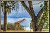 PhoenixZoo_6323d (bjarne.winkler) Tags: photo foto safari 2017 2 africa savana giraffe stretching its neck phoenix zoo arizona