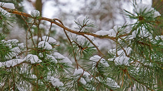 A pine tree and snow
