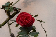 When roses are in bloom (sandhya.sahi) Tags: rose maroon red beautiful flower bloom winter petals leaves leaf bush organic homegrown garden beginner photography dslr nepal images nikon d3300 nikond3300