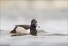 Ring-necked Duck - Drake (Daniel Cadieux) Tags: duck ringneckedduck male drake breeding breedingplumage swim swimming ottawa ottawariver